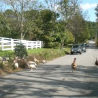 Farm turkeys in the road