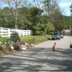 Farm turkeys in the road